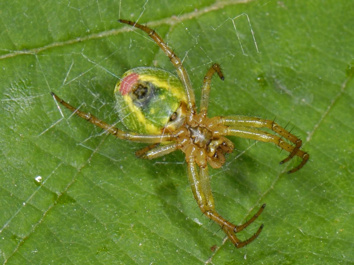 Araniella cucurbitina, Cucumber Spider